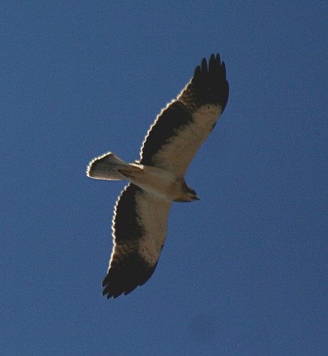 Booted Eagle Aquila pennata Cabranosa, Sagres, Portugal October 2013