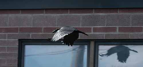 Raven in Flight with Reflection by dagnyg