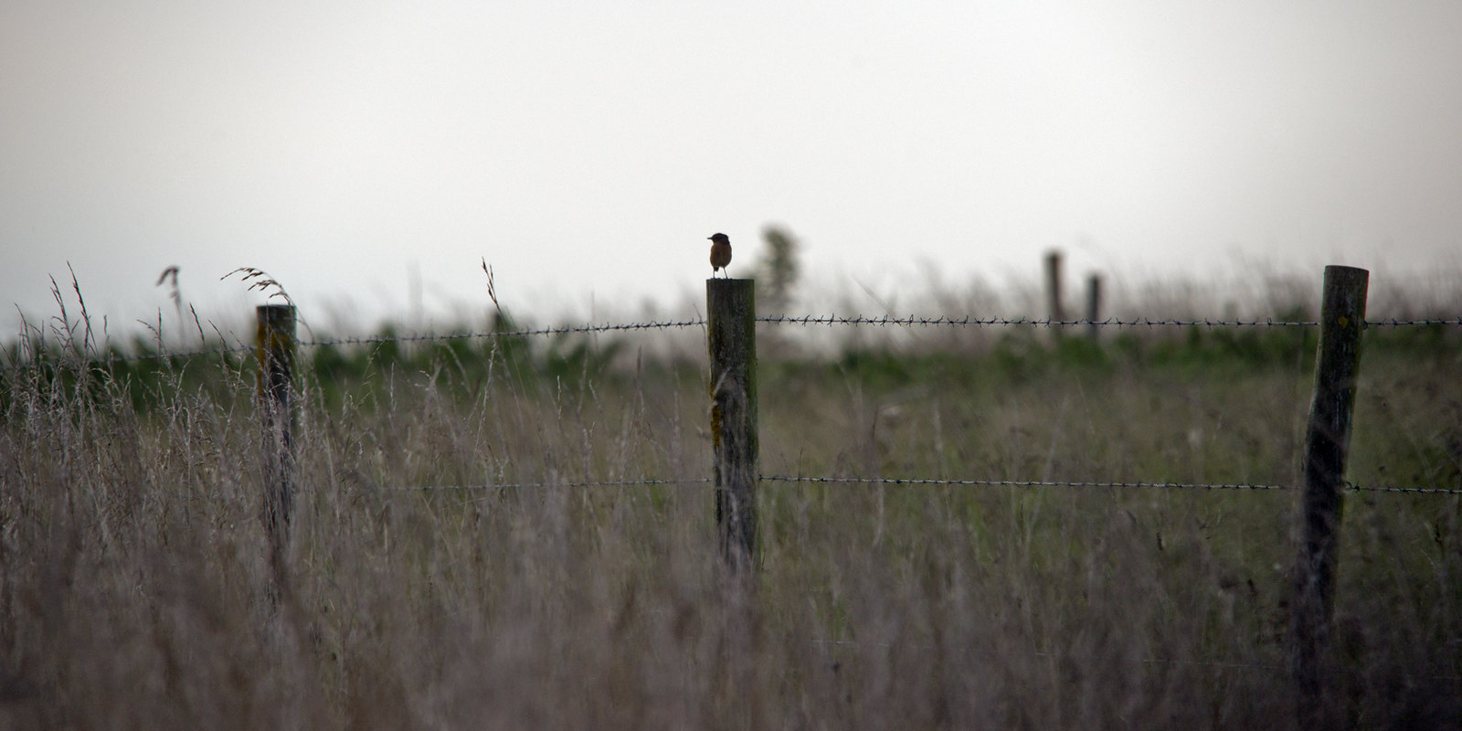 A male stonechat on a fencepost
