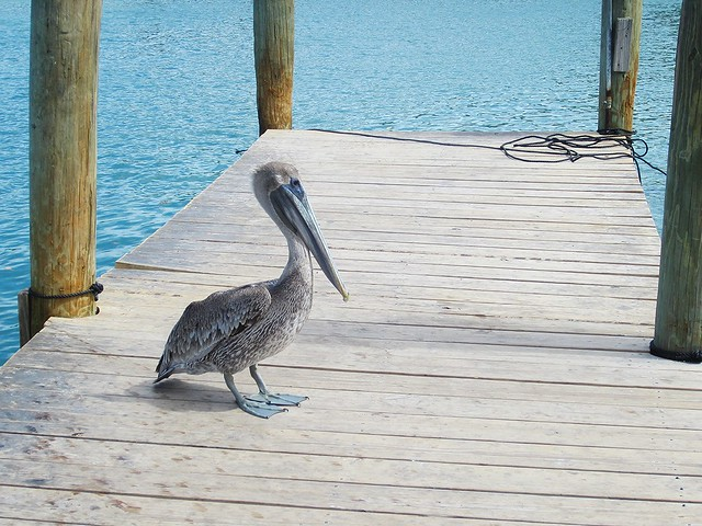 Pelican waiting for fish at Robbie's Marina