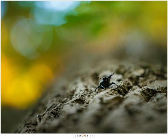 Kruipend over de stam van een eik, op weg naar het bladerendek waar de dag in beschutting doorgebracht wordt.
