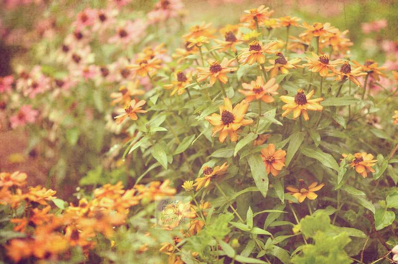 Day 237.365 – Flowers in Rain