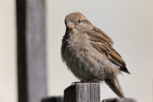 Sparrow 2013-12-31 (IMG_7970)