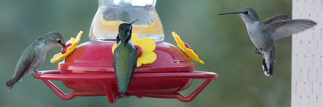 Costa's Hummingbirds-1080122