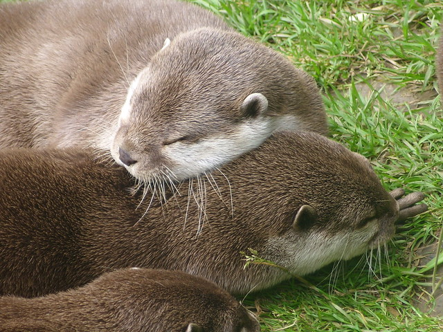 closeup of three fuzzy sleeping otters snuggled up and intertwined in an adorable fashion.