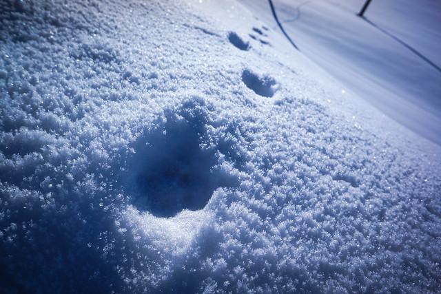 Canine footprints...