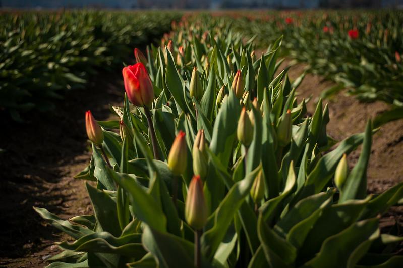 Tulips Poised