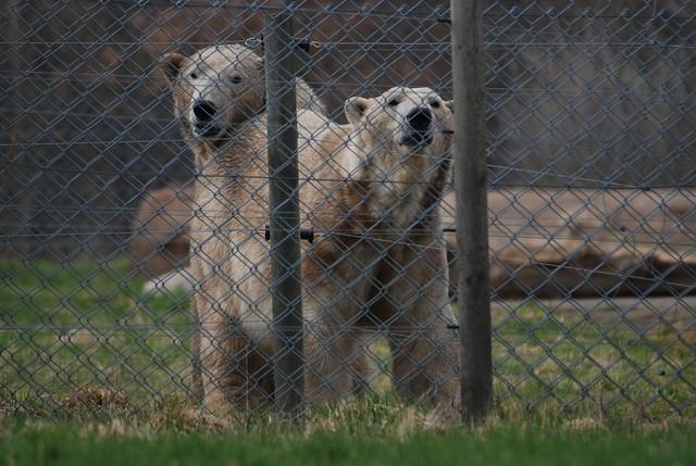 Eisbären Nanook und Nuuk im Skandinavisk Dyrepark in Kolind