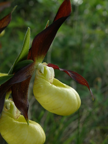Lady's-slipper orchid