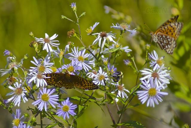 butterflies 0000 Adirondack, NY, USA