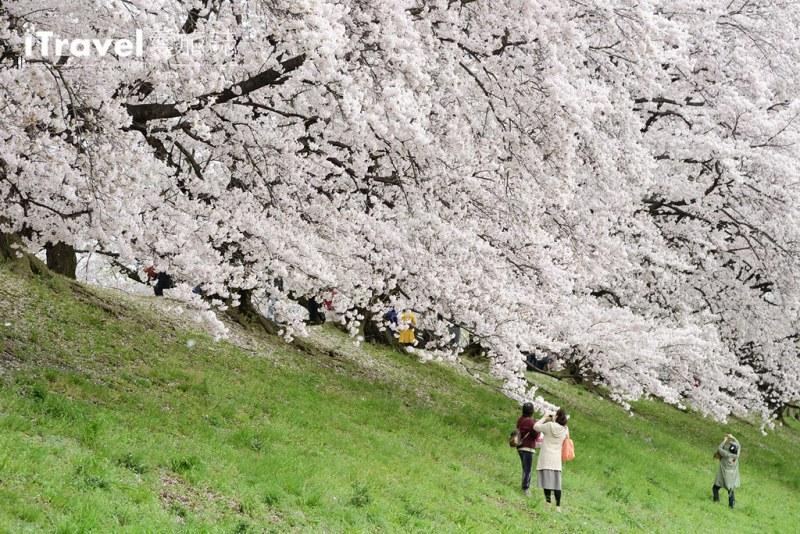 《京都赏樱景点》八幡市背割堤:绝美樱花林道的盛开与吹雪