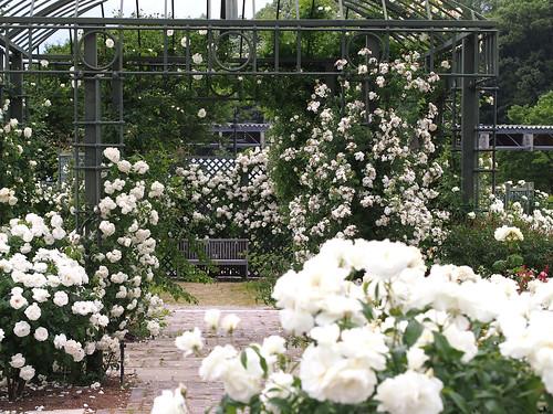 White Rose Garden. ホワイトローズガーデン.