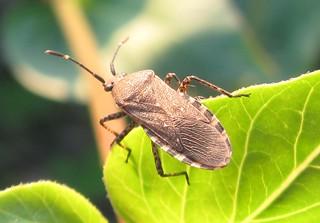 Wild four o'-clock bug (Catorhintha mendica)