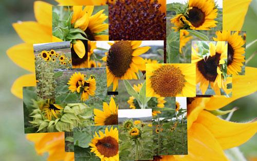 sunflower-mosaic-w