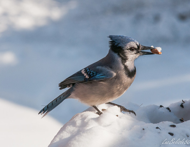 Geai Bleu 5 Blue Jay