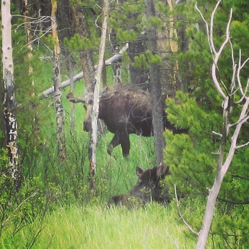 #moose #rockymountainnationalpark #colorado by @MySoDotCom
