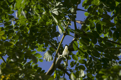 Moringa spp. (oleifera) Baricho Kenya Kohres Kakteen