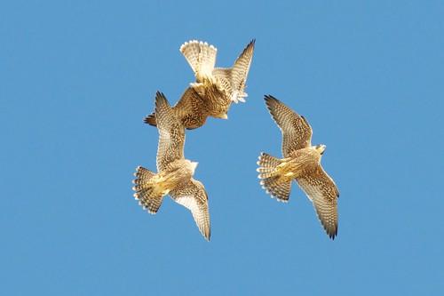 Peregrine Falcon Fledglings by Insu Nuzzi