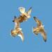 Peregrine Falcon Fledglings