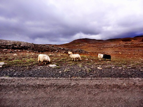 Icelandic sheep by SpatzMe