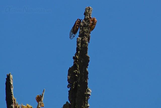 cicada 0000 Harriman State Park, NY, USA
