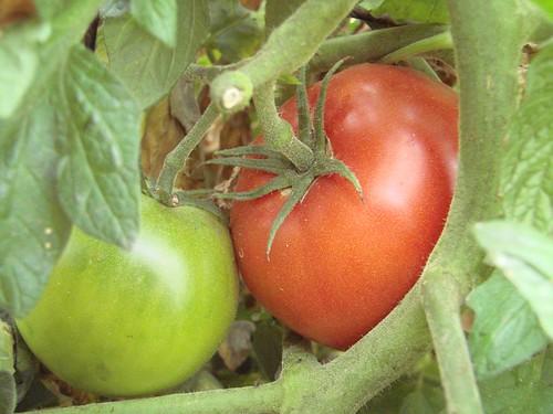 TomatoOnVine