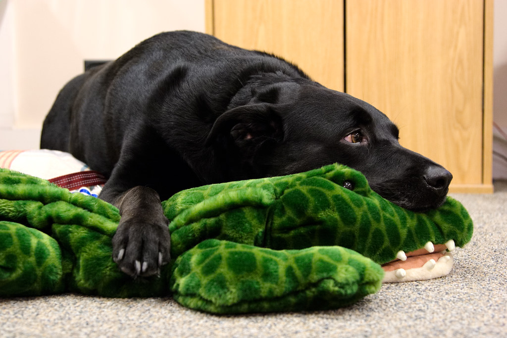 Our dog Ellie resting on a plush alligator