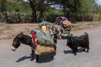 Deze ezels waren zonder begeleiding op weg, die kenden blijkbaar de route en sleurden de geit mee.