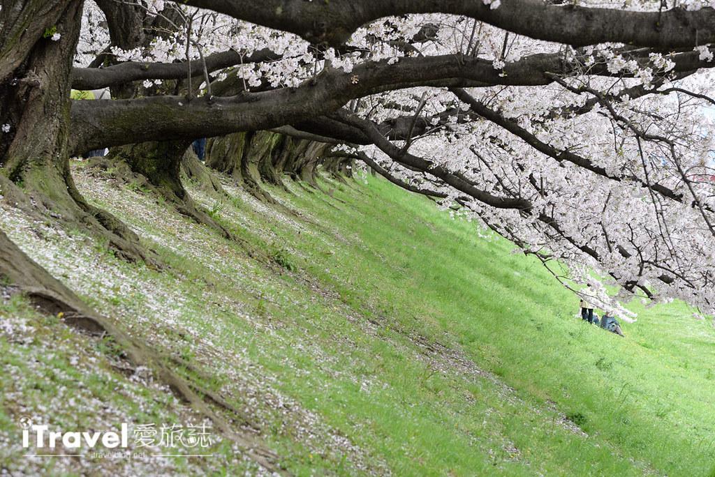 《京都赏樱景点》八幡市背割堤:绝美樱花林道邀你共赏盛开与吹雪,2017年交通与活动信息分享。