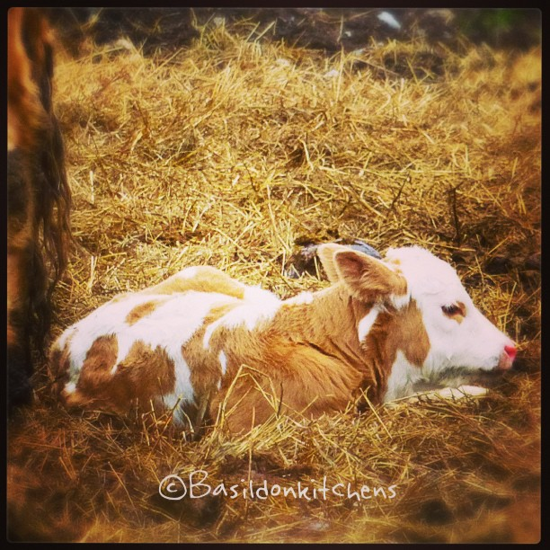 May 29 - just cute {this guy was born earlier in the morning} #TitleFx #photoaday #cows #calves #princeedwardcounty