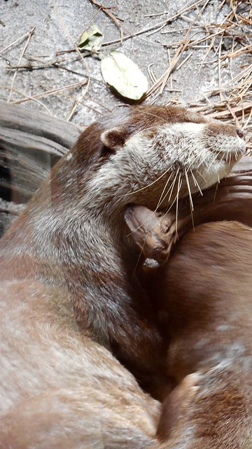 an otter is fast asleep with its head draped over a branch.