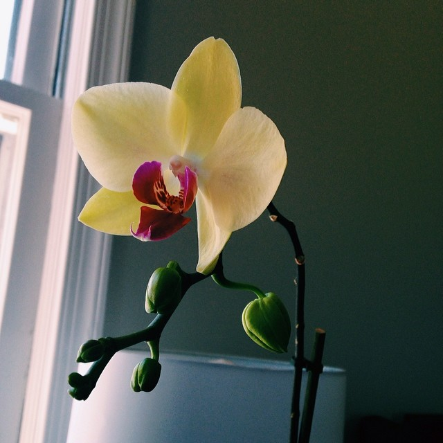 Orchid re-blooms. #orchidpride #houseplantfever
