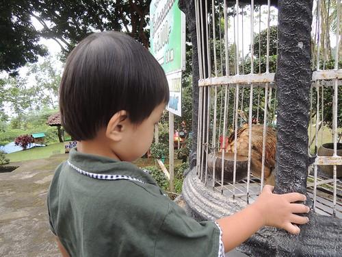 Ayam Ayam by adi pratama 001