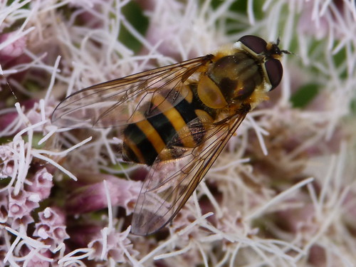 Epistrophe grossulariae Tophill Low NR, East Yorkshire August 2013