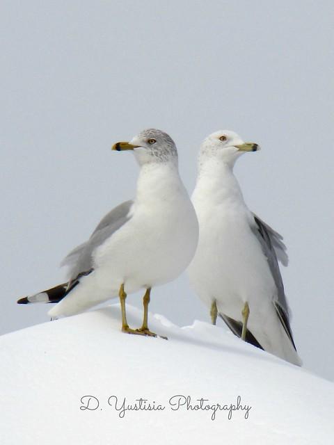Twin Seagulls