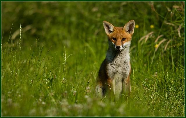 Fox Cub 1