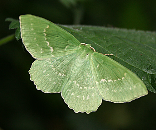 Large Emerald Geometra papilionaria Tophill Low NR, East Yorkshire July 2013