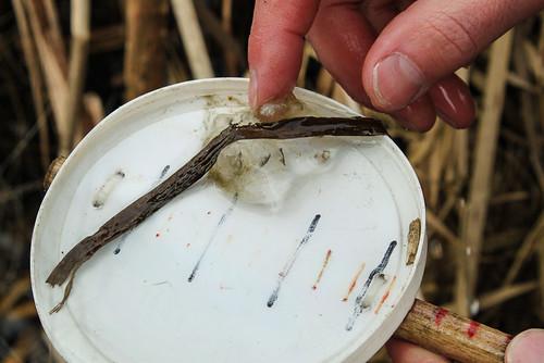 Long-toed Salamander (Ambystoma macrodactylum) egg mass