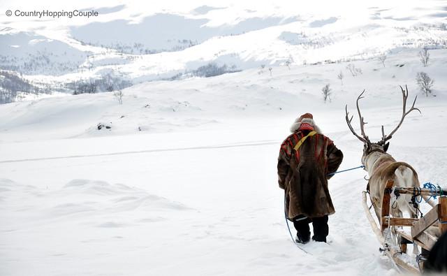 Reindeer sledging led by Sami people