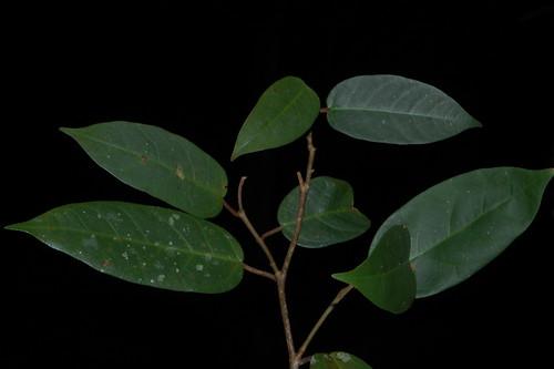 Ficus pantoniana DSC_0781