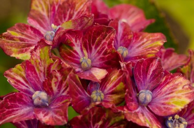 tri color pistacio hydrangeas