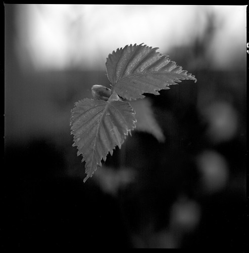 Hazel Leaf By Hasselblad by Davidap2009
