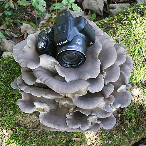 Pleurotus ostreatus Oyster Mushroom Tophill Low NR, East Yorkshire November 2013