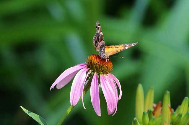 Butterfly on Purple Coneflower, West-Central Arkansas, July 25, 2011