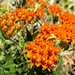 1305 Butterflyweed near the CDO