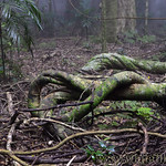 07 Viajefilos en Australia. Dorrigo Rainforest NP 29