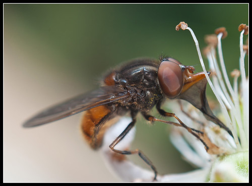 Rhingia Campestris hoverfly (male) by jonny.andrews65