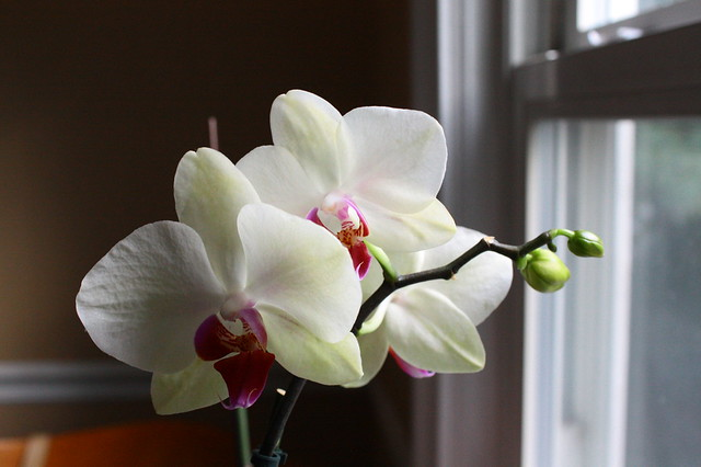Orchid is still blooming