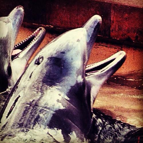 Seaworld #dolphins by @MySoDotCom