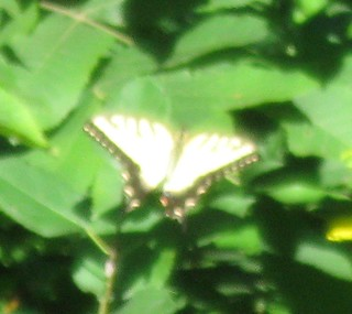 Eastern tiger swallowtail (Papilio glaucus), Governor Nelson State Park, 8/10/13